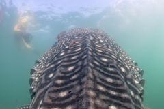Whale Shark approaching a diver underwater in Baja California Stock Photo