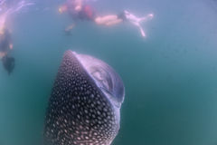 Whale Shark approaching a diver underwater in Baja California Royalty Free Stock Photography