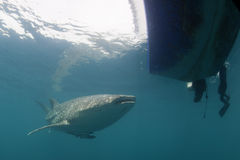 Whale Shark approaching a diver underwater in Papua Royalty Free Stock Photo