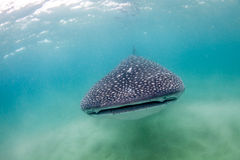 A whale shark approaching Royalty Free Stock Photos