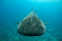 Whale Shark Approaching Royalty Free Stock Image