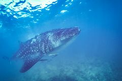 Whale shark and beautiful underwater scene with marine life in sunlight in the blue sea. Snorkeling and scuba Maldives underwater. Whale shark and an amazing royalty free stock photography
