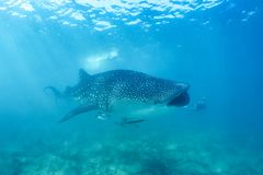 Whale shark and beautiful underwater scene with marine life in sunlight in the blue sea. Snorkeling and scuba Maldives underwater. Whale shark and an amazing royalty free stock photo