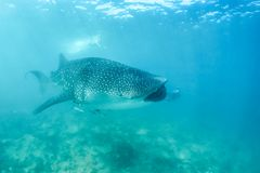 Whale shark and beautiful underwater scene with marine life in sunlight in the blue sea. Snorkeling and scuba Maldives underwater. Whale shark and an amazing stock photography