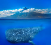 Whale shark below. Mt Mayon and whale shark - above and below water royalty free stock photography