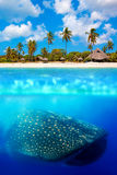 Whale shark below. Tropical island and whale shark - above and below water Stock Images