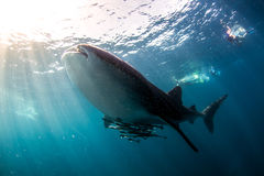 Whale Shark Blue water. Stunning Whale Shark in Crystal clear shallow  blue water Stock Photos