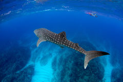 Whale Shark Blue water. Stunning Whale Shark in Crystal clear shallow  blue water Stock Images