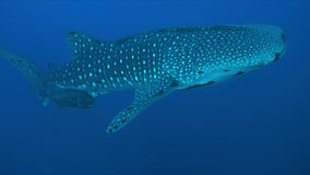 Whale shark in blue water Royalty Free Stock Image