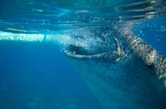 Whale shark by boat underwater photo. Whale shark head closeup by sea surface. Royalty Free Stock Photography