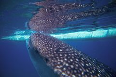 Whale shark and boat underwater photo. Whale shark head closeup by sea surface. Royalty Free Stock Photo