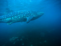 Whale shark Cebu Royalty Free Stock Photos