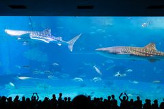 Whale shark at Churaumi aquarium stock photography