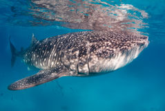 Whale shark in clear water royalty free stock image