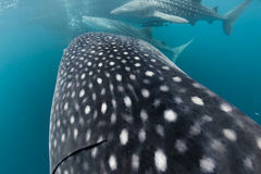 Whale Shark close up portrait underwater in Papua. Three Whale Shark close up portrait underwater in Papua stock photos