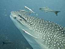 Whale shark close-up shot, whale shark surrounded by fish Stock Photo