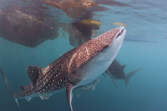 Whale Shark Close Up Underwater Portrait Stock Image