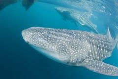 Whale Shark close up underwater portrait Stock Photos