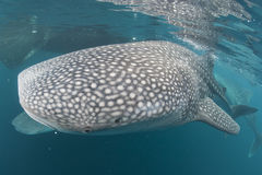 Whale Shark close up underwater portrait Royalty Free Stock Images