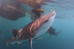 Whale Shark close up underwater portrait Stock Image