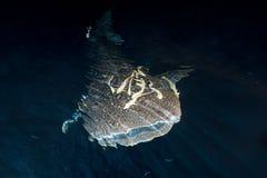 Whale Shark close up underwater portrait Stock Photo