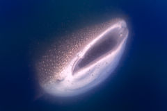 Whale Shark close up underwater portrait. Whale Shark close up underwater with big enormous open mouth jaws stock photo