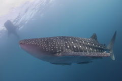 Whale Shark close up underwater portrait Royalty Free Stock Photos