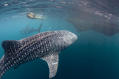 Whale Shark coming to you underwater Stock Photography
