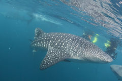 Whale Shark coming to you underwater Royalty Free Stock Image