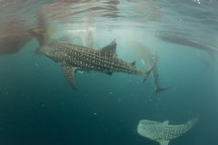 Whale Shark coming to you underwater Royalty Free Stock Photography