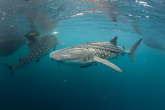 Whale Shark coming to you underwater Stock Image