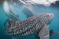Whale Shark coming to you underwater Royalty Free Stock Photo