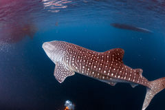 Whale Shark coming to you underwater. Whale Shark very near looking at you underwater in Papua stock photos