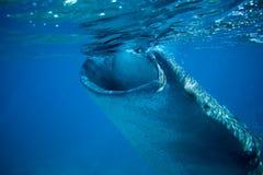 Whale shark in deep blue sea. Whale shark closeup eating plankton by sea water surface.