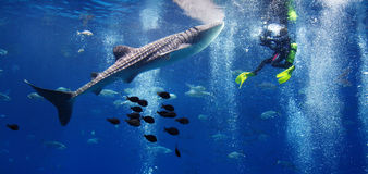 Whale shark and the diver. Panoramic photo of a diver holding a camera to take picture of whale shark in the aquarium. The Whale shark is a large filter feeding Stock Photography