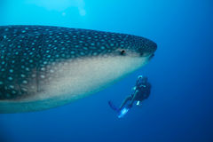 Whale Shark and Diver. Whale Shark (Rhincodon Typus) and Diver, South Ari Atoll, Maldives Royalty Free Stock Photography