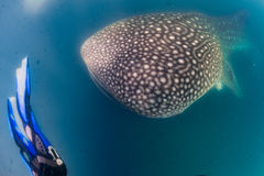 Whale Shark and diver underwater. Whale Shark approaching a Photographer underwater in La Paz Baja California Sur Mexico royalty free stock image
