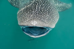 Whale Shark while eating Royalty Free Stock Image
