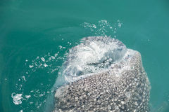 Whale Shark while eating Stock Photo