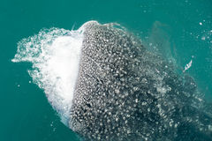 Whale Shark while eating Stock Photography
