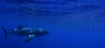 A whale shark feeding. A whale shark in Honduras chases a bait ball of fish royalty free stock image