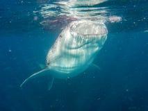 A whale shark. Feeding near the surface Stock Photos