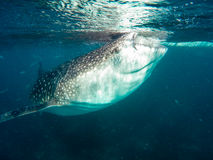 A whale shark Royalty Free Stock Images