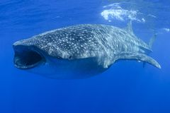 Whale Shark Feeding on Tuna Eggs with Open Mouth. In Isla Mujeres, Mexico stock photos
