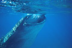 Whale shark feeding underwater photo. Whale shark head closeup by sea surface. Huge oceanic animal. Biggest shark in natural environment. Snorkeling or diving royalty free stock photo