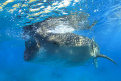 Whale Shark Stock Photos