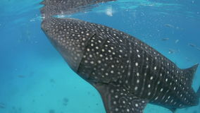 Whale shark filter feeding underwater Stock Photography