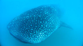 Whale Shark. Giant Whale Shark underwater at Donsol, Philippines Royalty Free Stock Photography