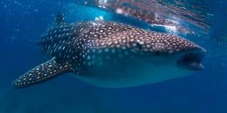 Whale shark. Gigantic whale shark (Rhincodon typus) feeding near surface royalty free stock photos