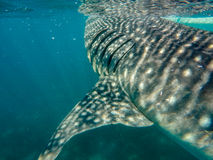 Whale shark gills Royalty Free Stock Photos